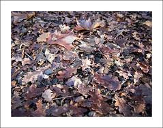 Forest floor in winter (Christa (ch-cnb)) Tags: tree leaves forest dead switzerland ticino maple woods olympus svizzera plain acorns omd termine em5 microfourthirds monteggio panasoniclumix20mm