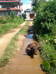 Buffalo wallow (whitworth images) Tags: road street nepal house building nature wet water animal rural puddle mammal outdoors buffalo asia hole mud path deep domestic monsoon livestock pokhara muddy waterbuffalo wallow kaski