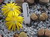 093 (BobTravels) Tags: plant stone bob lithops lithop messem bobwitney