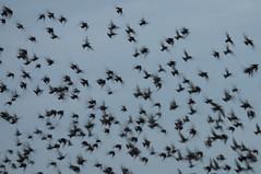 Talking about my Murmuration.... (Graeme Andrews) Tags: pentax atmospheric britishwildlife starlings murmuration 130th sigma150500mmdghsm starlingmurmur wildlifeinbritain
