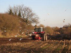 Scavenging the furrows (Lady Wulfrun) Tags: nottingham november seagulls tractor rural mud farm seed soil crop fields crops farmer agriculture maize plough agricultural stubble scavengers furrows ploughing furrow landgulls turningtheearth weploughthefieldsandscatterthegoodseedontheland furrowline