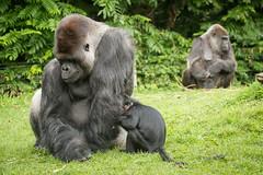 2014-09-24-10h54m38.BL7R0358 (A.J. Haverkamp) Tags: zoo gorilla thenetherlands kerkrade ayo dierentuin dalila lowlandgorilla kuifmangabey blackmangabey makula westelijkelaaglandgorilla dob10021990 dob31121972 pobinthewild canonef100400mmf4556lisusmlens pobapeldoornthenetherlands pobkerkradethenetherlands gaiazoo dob31122012 httpwwwgaiazoonl