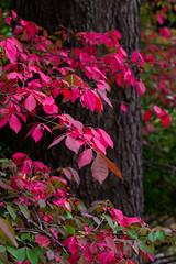 Burning bush (leehobbi) Tags: red fall colors canon bush burning 5d shrub