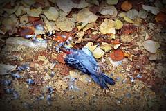 La Renaissance (f(art)) Tags: pet paris france bird cemetery dead death 50mm nikon zombie pigeon gore horror smashed nikkor 18 fucked pere splatter lachaise slasher dellamore dellamorte
