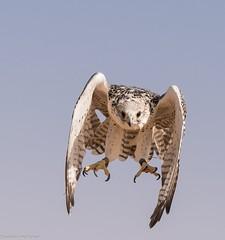 8Q2A1135_DxO (maskirovka77) Tags: dubai desert hunting beak raptor owl falcon hood sharjah unitedarabemirates falcons raptors avian barnowl hunt birdsofprey lure birdofprey falconry talons natureconservancy stooping falconeer peregrinefalcon gyrfalcon pergrine falconexperience alshuwaib arabiandeserteagleowl royalshaheen clawsarabiandeserteagleowldubainatureconservancypergrineraptorsroyalshaheenbirdofpreybirdsofpreyfalconfalconexperiencefalconsowlraptoralshuwaibsharjahunitedarabemirates