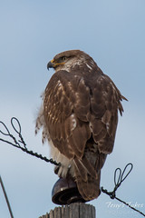 Ferruginous Hawk keeps watch