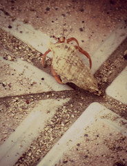IMG_3142_fix (goatling) Tags: hermitcrab island shell crab tropical tropic caribbean cayman carib caymanislands tropics grandcayman caribe westbay westindies britishwestindies soldiercrab gcm201412 201412gcm