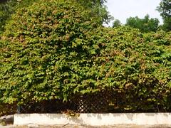 Rangoon Creeper (Indian Jasmine) (Mink) Tags: park flowers plants gardens flora gulf landscaping jasmine indian fragrant local kuwait arabian creeper climbers rangoon 2014 shaab madhumalati
