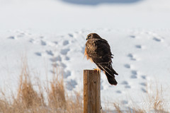 Perched female Harrier Hawk