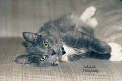 K.C my kitten (Fallen Oak Photography) Tags: blue dog love animals cat puppy nose photography oak kitten gray adorable kitty fluffy pitbull fallen kc bluenose capone aniamls fallenoak fallenoakphotography