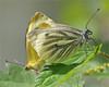 Green-veined Whites in love (Foto Martien) Tags: holland macro netherlands dutch butterfly geotagged asia europe northafrica nederland papillon mating northamerica gps falter mariposa geotag coupling slt veluwe farfalla kleingeaderdwitje schmetterling vlinder a77 macrophoto greenveinedwhite copulation geotagging butterflygarden harskamp macrofoto vlindertuin mustardwhite pierisnapi zorgboerderij piéridedunavet bielinekbytomkowiec platinumheartaward zorginstelling rapsweisling pieridedelnavone sonysal18250 grünaderweisling passiflorahoeve sonydt18250mmf3563 martienuiterweerd martienarnhem エゾスジグロシロチョウ grayveinedwhite fotomartien blancaverdinervada брюквенница slta77v a77v sonyalpha77 marginwhite microstriatawhite sharpveinedwhite سفیدسبزرگ vlindervolièreeuropesevlinders kwekerijeuropesevlinders kwekerijvooreuropesevlinders