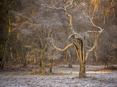 Frosted Birch (Damian_Ward) Tags: winter tree lumix frozen frost nt olympus panasonic 60mm nationaltrust hertfordshire dmc ashridge herts m43 mft gh3 ashridgeestate 28macro damianward micro43 microfourthirds mzuikodigitaled thunderdellwood ©damianward