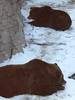 (kristen mckeithan) Tags: bear park new york nyc winter brown snow ny zoo support manhattan wildlife central january conservation betty veronica grizzly society 15th donate grizzlies 2015 wcs