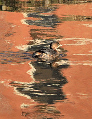 Pied-billed Grebe (William  Dalton) Tags: bird birds rust grebe piedbilledgrebe podilymbuspodiceps oceangrovenj rustcolor