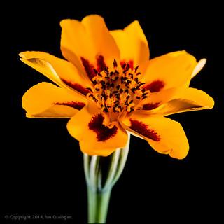 58/100 - Marigold