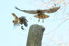 New Year's Day with Christo and Dora (Goggla) Tags: park new york nyc red urban male bird female square mouse village adult hawk tail dora east raptor mating behavior tompkins christo goglog