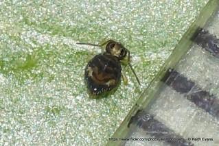 jan 16th llangollen (Colllembola) Katiannidae, 1mm marker.