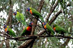 rainbow lorikeets (geethamathi) Tags: birds lorikeets geethamathi geethamathivanan