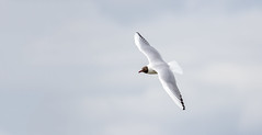 Black Headed Gull (Alan Reeve) Tags: black gull headed hullbridge