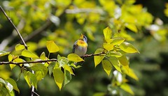 Singing Northern Parula (praja38) Tags: life trees wild ontario canada male bird eye nature wings woods call song wildlife caps wing beak feathers feather humour canadian southern cap whitby warbler songbird capricorn northernparula thicksonswoods