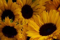 Zonnebloemen. Sunflowers. (George Ino) Tags: copyright orange flower holland netherlands yellow utrecht nederland sunflower geel girasol oranje bloem zonnebloem  georgeino georgeinohotmailcom naturenatuurnatur sryamukh