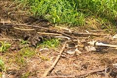 7K8A8825 (rpealit) Tags: bear nature scenery wildlife area bones hatchery pequest