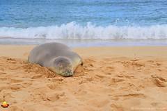 Hawaiian Monk Seal on a Beach, Poipu, Kauai, Hawaii (DTD_2007) (masinka) Tags: hawaiian monk seal beach sand sandy ocean pacific kauai hawaii nature wildlife sea coast splash surf happy sleeping resting poipu endangered species animal wild tropical island