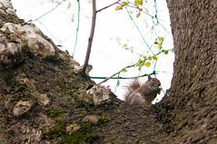 Squirrel (Nonauk) Tags: newyork squirrel centralpark squirel cureuil ecureuil