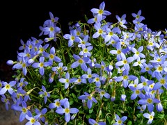 Tiny Blue Flowers (yantrax) Tags: lighting flowers blue light flower color macro nature floral colors closeup licht spring pattern natural sony natur blau blume makro frhling flowersarefabulous