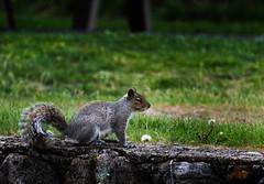 2016-04-25 18.59.45-9.jpg (Michael Bateman) Tags: wildlife squirel