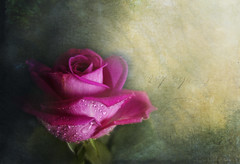 La Vie en Rose (Elisafox22 slowly beating the Shingles!) Tags: elisafox22 sliderssunday hss rose red redrose petals raindrops droplets texturing layers photoshop postprocessing textures elisaliddell©2016 lavieenrose