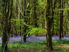 Bluebell Glade (velodenz) Tags: wood uk flowers trees england nature fleur bluebells digital photography photo woods image britain united hill great picture kingdom pic photograph fujifilm shire wiltshire phot bluebell x30 marshfield saltford bnes greatphotographers banes tormarton shirehill velodenz