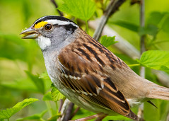 White-throated Sparrow (5-7) (ryan11-17) Tags: sparrow whitethroatedsparrow mageemarsh thebiggestweekinamericanbirding