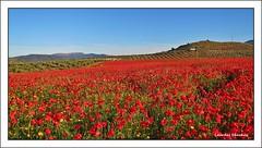 Un campo en rojo (Lourdes S.C.) Tags: naturaleza paisaje campo amapolas campodeamapolas