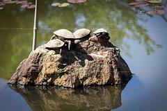 Ryoanji temple, Kyoto (Christian Kaden) Tags: animal japan temple tiere kyoto turtle   kioto kansai ryoanji  tier tempel  schildkrte