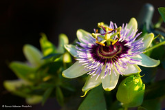 Passiflora (BiancaValkenierPhotoArt) Tags: flower macro green nature colors beautiful yellow closeup canon flora colorful colours purple 7d colored passiflora passionflower bloem passiebloem flowerheart canon7d