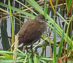 Sulk (Bricheno) Tags: bird scotland escocia chick szkocja renfrew schottland moorhen scozia renfrewshire cosse  esccia   bricheno clydeviewpark scoia