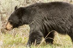 Walk on by {Explored} (ChicagoBob46) Tags: bear yellowstonenationalpark yellowstone blackbear