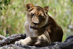 Busch Gardens: African Lioness (Jasmine'sCamera) Tags: tampa african lion lioness buschgardens busch africanlioness
