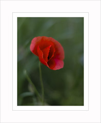 Venus (paolo paccagnella) Tags: flowers light red test green photo spring aperture focus dof venus paolo poppies serie pdc 2016 canonequipment paccagnella lens50mmf14 phpph canonresearch