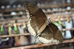 xxxxxIMG_4369 (C.DeR) Tags: macro nature closeup depthoffield flyinginsect brownbutterfly cder