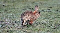 Rabbit  (21) (John Carson Essex) Tags: thegalaxy supersix rainbowofnature thegalaxystars