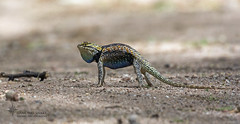 "_O6A3618 ""lover or fighter?""Desert Spiny Lizard Dancing Snake Nature Photography (Dancing Snake Nature Photography) Tags: arizona male nature photography display tucson lizards reptiles desertspinylizard dancingsnakenaturephotography"