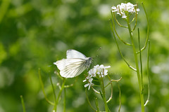 Refreshments (shaftination) Tags: white butterfly insect whiteflower feeding eating nectar 4e greenveinedwhite pieridae pierisnapi