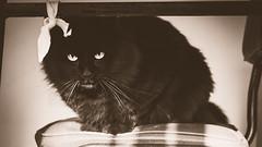 Cat (Est3ban.T) Tags: sun sepia cat reflex nikon angora lightroom dlsr d3300