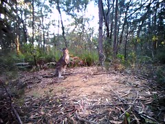 The Visitor (aussiegall) Tags: video wildlife kangaroo selfie