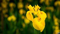 Yellow iris (Gele Lis) (BraCom (Bram)) Tags: flower holland netherlands yellow closeup canon petals rotterdam dof widescreen nederland depthoffield nl 169 geel lever bloem stadspark zuidholland yellowflag irispseudacorus yellowiris gelelis bloemblaadjes southholland waterflag canonef24105mm bracom canoneos5dmkiii bramvanbroekhoven