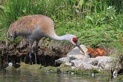 A new beginning  ...:) (Paridae) Tags: sandhillcrane sandhillcranechick crane sandhillcranecolt new familygruidae gruscanadensis birdsofbritishcolumbia thingswithwings birdsofafeather afewofmyfavouritethings featheredfriends canoneos7d cute babybirds