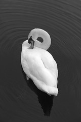 Swan I in explore - Thank you! (Lascorian) Tags: white blackwhite swan