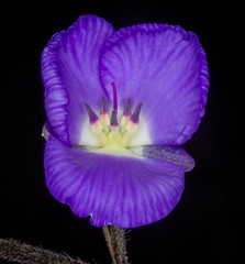 Blue Mystery (tresed47) Tags: flowers us pennsylvania content places longwoodgardens folder takenby chestercounty 2016 peterscamera petersphotos flowerunidentified canon7d 201605may 20160524longwoodflowers